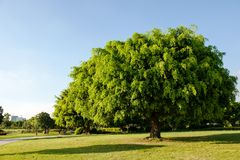 Banyan tree in the park Stock Photo