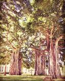 Banyan Tree Park. Tropical banyan trees in a park in Oahu, Hawaii Stock Images