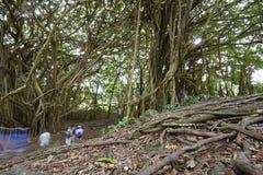 Banyan tree Royalty Free Stock Photos