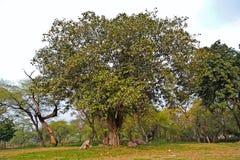 Banyan tree. Banyan, or Pippal tree in Rajghat park, New Delhi Stock Images
