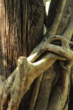 Banyan tree root. Banyan tree,golden fig,tightly knot root stock images