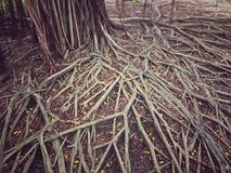 Banyan tree root on the ground Royalty Free Stock Photos