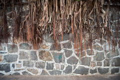 Banyan tree root growing against a stone wall, Hong Kong Stock Images