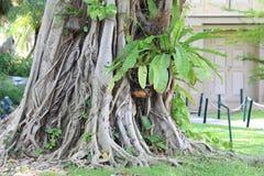 Banyan tree. Root in Thailand Stock Photos