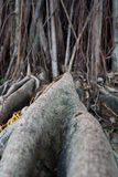 Banyan tree root. The root of banyan tree, the tropical plant royalty free stock images