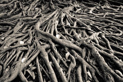 Banyan tree root. The root of banyan tree, the tropical plant royalty free stock photos
