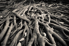 Banyan tree root. The root of banyan tree, the tropical plant royalty free stock photography