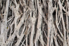 Banyan tree roots Stock Photography