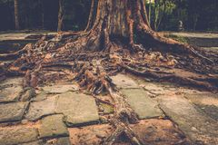 Banyan tree roots in Angkor temple ruins, Siem Reap, Cambodia. Royalty Free Stock Photo