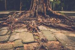 Banyan tree roots in Angkor temple ruins, Siem Reap, Cambodia. Royalty Free Stock Photo