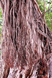 Banyan tree roots Royalty Free Stock Photography