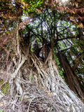 Banyan tree roots in forest Stock Photography