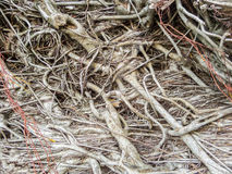 Banyan tree roots in forest. Amount of banyan tree roots in forest Royalty Free Stock Photo