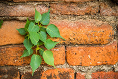 Banyan tree with roots growing out of the wall brick Royalty Free Stock Images