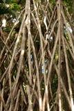 Banyan Tree Roots Royalty Free Stock Photos
