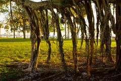 Banyan tree roots Stock Images