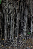 Banyan tree, roots. Old banyan tree, long roots, yellow leaves stock image