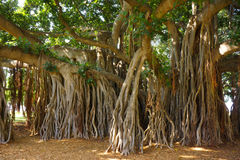 Banyan tree roots. Older banyan trees are characterized by aerial prop roots that mature into thick, woody trunks, which can become indistinguishable from the stock photography