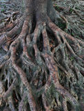 Banyan Tree roots over Earth Surface. A symbol of being down-to-earth royalty free stock photos