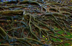 Banyan tree roots after the rain. Pattern of wet banyan tree roots after heavy rain stock photos