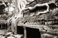 Banyan tree roots at Ta Prohm Stock Photo