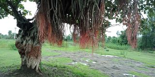 Banyan tree roots and textures nature background wallpaper,. Many uses for paintings,printing,mobile backgrounds, book,covers,screen savers, web page,landscapes Royalty Free Stock Photos