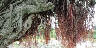 Banyan tree roots and textures nature background wallpaper,. Many uses for paintings,printing,mobile backgrounds, book,covers,screen savers, web page,landscapes Stock Photos