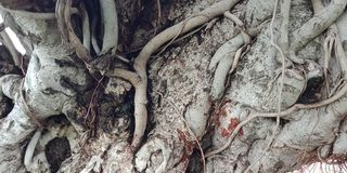 Banyan tree roots  royalty free stock image