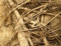 Banyan tree roots, Royalty Free Stock Photography