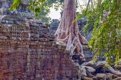 Banyan tree in ruin Stock Photography