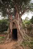 Banyan tree in ruins of Ta Som Temple. A branching banyan tree in the ruins of Ta Som Temple in Angkor, Siem Reap, Cambodia royalty free stock image