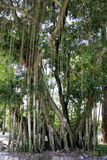 Banyan tree Stock Photos