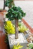 Banyan tree small Royalty Free Stock Photo