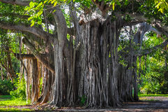 Banyan tree. In south florida stock photos