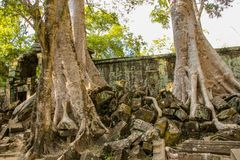 Banyan tree in Ta Prohm temple royalty free stock photo