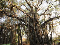 Banyan. Tree surprising. It grows not only up, but also in breadth — from adult branches shoots, air roots which having reached the earth start separating Stock Photography