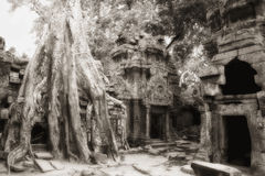 Banyan tree at Ta Prohm temple complex Royalty Free Stock Photo