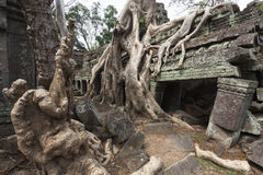 Banyan Tree at Ta Som Royalty Free Stock Images