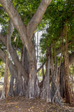 Banyan Tree. S are characterized by their aerial prop roots that grow into thick woody trunks, which can become indistinguishable from the main trunk with age stock photo