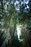 Banyan tree in tropical forest, Bali, Indonesia Royalty Free Stock Image