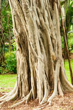 Banyan Tree. Trunk of a Banyan Tree in Central Hong Kong Park stock photography