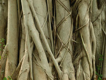 Banyan tree trunk Stock Photo