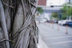 Close-up Banyan Tree Trunk Near the Parking Lot. Banyan Tree Trunk Near the Parking Lot Royalty Free Stock Image