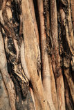 Banyan tree trunk root Royalty Free Stock Image
