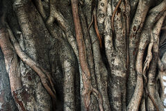 Banyan tree trunk roots with carvings Stock Photo