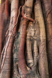 Banyan tree trunk roots Royalty Free Stock Photos