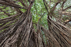 Banyan tree Stock Images