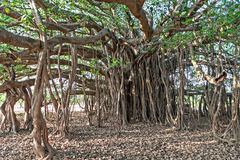 Banyan tree. Very big banyan tree in the jungle stock photos