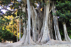 Banyan tree. Very old huge banyan tree royalty free stock image