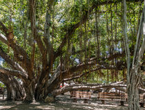 Banyan Tree 2. A view of a section of a huge Banyan tree in Lahaina on Maui, Hawaii royalty free stock photos